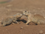 Black-Tailed Prairie Dog Photographic Print by Mark Hamblin