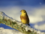 Yellowhammer, Emberiza Citrinella Male Perched on Branch Strathspey, Scotland Photographic Print by Mark Hamblin