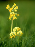 Cowslip Photographic Print by Mark Hamblin