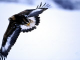 Golden Eagle, 1st Year Male in Flight in Winter, Norway Photographic Print by Mark Hamblin
