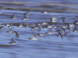 Oystercatchers, Flock in Flight, UK Photographie par Mark Hamblin