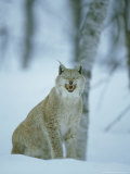 European Lynx, Felis Lynx Female Yawning Norway Photographic Print by Mark Hamblin