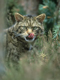 Wild Cat, Felis Sylvestris Close-up Portrait Highland, Scotland Photographic Print by Mark Hamblin