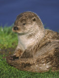 European Otter, Close-up of Female Photographic Print by Mark Hamblin