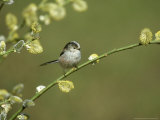 Long-Tailed Tit, Aegithalos Caudatus, Yorkshire, UK Photographic Print by Mark Hamblin