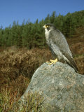 Peregrine Falcon, Falco Peregrinus Male Perched on Rock St. Rathspey, UK Photographic Print by Mark Hamblin