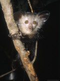 Aye-Aye, Warlock on Branch, Duke University Primate Center Photographic Print by David Haring
