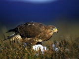 Common Buzzard, Feeding on Ground Highlands Photographie par Mark Hamblin