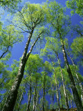 Silver Birch, Trees in Early Spring, Scotland, UK Fotografie-Druck von Mark Hamblin