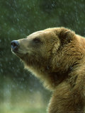Grizzly Bear, Ursus Horribilis, Yelllowstone National Park, USA Photographic Print by Mark Hamblin