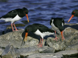 Oystercatcher, Pair Displaying on Rock, Scotland Reproduction photographique par Mark Hamblin