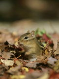 Eastern Chipmunk, Amongst Autumn Leaves, USA Lámina fotográfica por Mark Hamblin