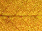 Close-up of Leaf Showing Vein Structure and Autumn Colour, Scotland Photographic Print by Mark Hamblin