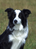Border Collie, Portrait of Nine Month-Old Dog Photographic Print by Mark Hamblin