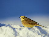 Yellowhammer, Emberiza Citrinella Male Perched in Snow Str Athspey, Scotland Photographie par Mark Hamblin