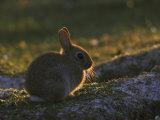 European Rabbitoryctolagus Cuniculusyoungster Papier Photo par Mark Hamblin