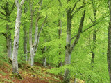 Common Beech in Early Spring, Scotland Photographic Print by Mark Hamblin