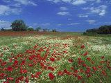 Common Poppy, and Oxeye Daisy, Scotland Photographic Print by Mark Hamblin