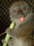 Bamboo Lemur, Feeding on Bamboo Photographic Print by David Haring
