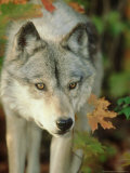 Timber Wolf, Close-up Portrait in Autumn Foliage, USA Photographic Print by Mark Hamblin