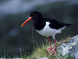 Oystercatcher Reproduction photographique par Mark Hamblin