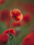 Common Poppy, Close-up of Flowers in Field, UK Photographic Print by Mark Hamblin