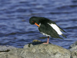 Oystercatcher, Adult Preening on Rock, Scotland Photographie par Mark Hamblin