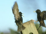 Starling, Sturnus Vulgaris, Two Birds Flying, S. Yorks Photographie par Mark Hamblin