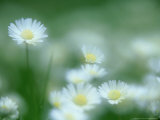 Daisy, Bellis Perennis in Flower, Soft Focus Scotland, UK Photographic Print by Mark Hamblin