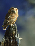 Tawny Owl, Adult Perched on Old Tree Stump, UK Photographic Print by Mark Hamblin