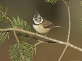 Crested Tit, Adult Perching, Scotland Photographic Print by Mark Hamblin