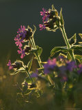 Red Campion, Flowers Backlit, Norway Photographic Print by Mark Hamblin