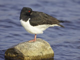 Oystercatcher, Adult Resting, Scotland Photographie par Mark Hamblin