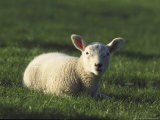 Lamb, Swaledale, UK Photographic Print by Mark Hamblin