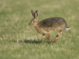 Brown Hare, Adult Running, Scotland Photographic Print by Mark Hamblin