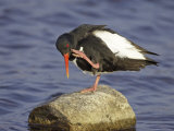 Oystercatcher, Adult Scratching, Scotland Photographie par Mark Hamblin