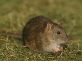 Common Rat Photographic Print by Mark Hamblin