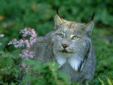 Lynx, Lynx Canadensis Close-up Portrait USA Photographic Print by Mark Hamblin