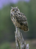 Eagle Owl, Adult on Stump, Scotland Photographie par Mark Hamblin