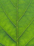 Oak Leaf, Close-up Detail, England Photographic Print by Mark Hamblin