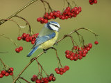 Blue Tit, Perched on Berries Photographic Print by Mark Hamblin