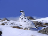 Ptarmigan, Male in Winter Plumage on Snow, UK Photographic Print by Mark Hamblin