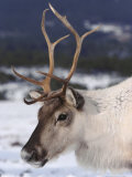 Reindeer, Close-up Portrait in Winter, Scotland Photographic Print by Mark Hamblin