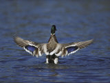 Mallard Photographic Print by Mark Hamblin