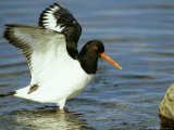 Oystercatcher, Wings Raised, Scotland Photographie par Mark Hamblin