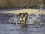 English Springer Spaniel, Scotland Photographic Print by Mark Hamblin