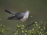 Cuckoo, Male Perched on Silver Birchsapling, UK Photographie par Mark Hamblin