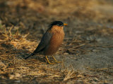 Brahminy Myna Photographie par Mark Hamblin