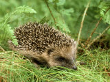 Hedgehog Photographic Print by Mark Hamblin