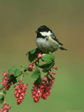 Coal Tit, Perched on Wild Currant Blossom, UK Photographic Print by Mark Hamblin